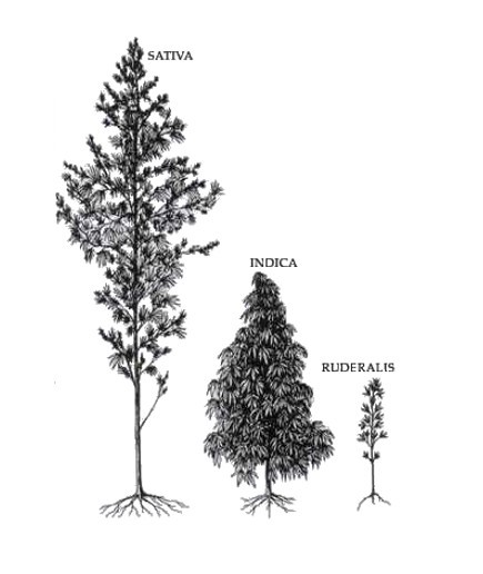 the hemp plant trees