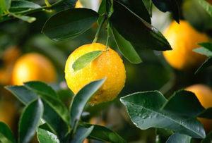 lemons on a tree lemon juice and weight loss