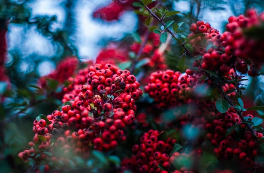 acai red berry bunches on a tree