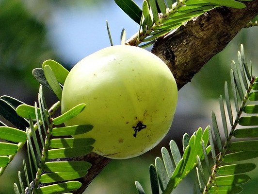 amla fruit light green
