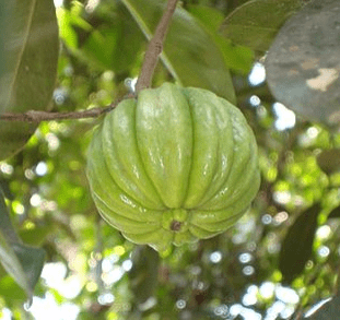 garcinia cambogia green fruit